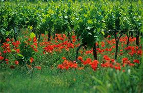 Vigne Sud de France
